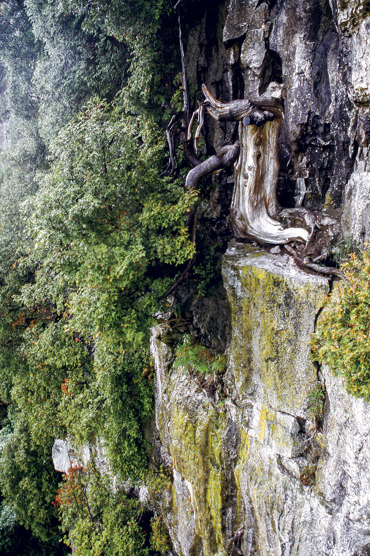 One of the oldest eastern white cedars on the cliffs of the Niagara Escarpment. This tree germinated in the year 1134, making it 883 years old today. Climbers likely trimmed the branches on its northern side to make way for a climbing route in 1992. At the time of the photograph, two living branches on the south side of the tree were keeping it alive, though scientists haven't been back to survey whether it survives today. [Photo] Peter Kelly