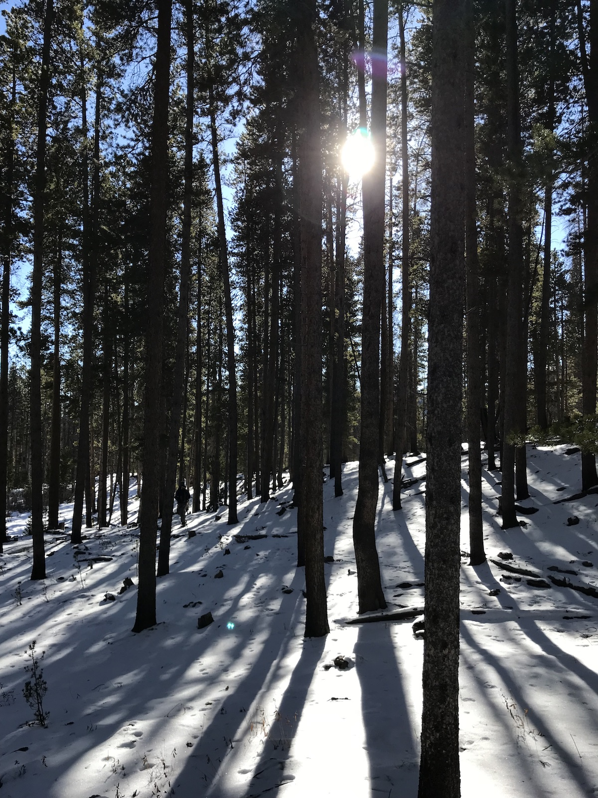 Lodgepole pines in the Medicine Bow National Forest in the Snow Range, Wyoming. [Photo] Katherine Indermaur