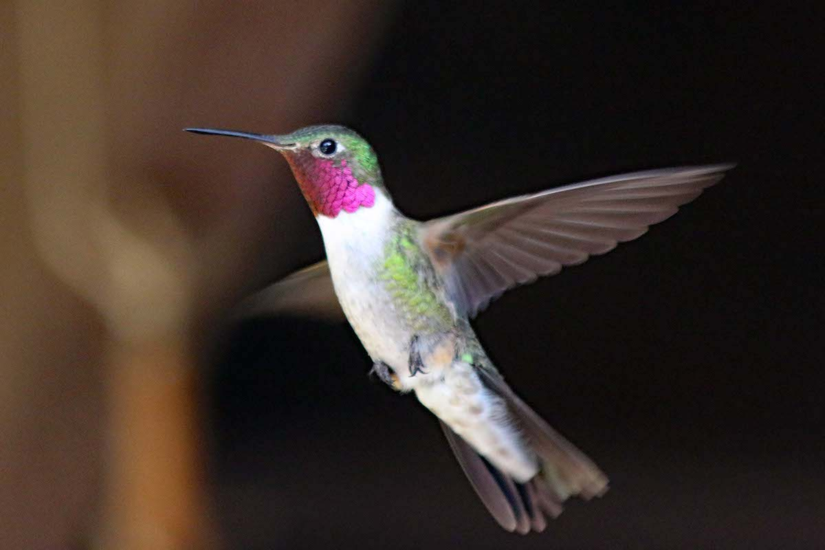 A broad-tailed hummingbird at Rocky Mountain Biological Laboratory.[Photo] Jimmy Lee