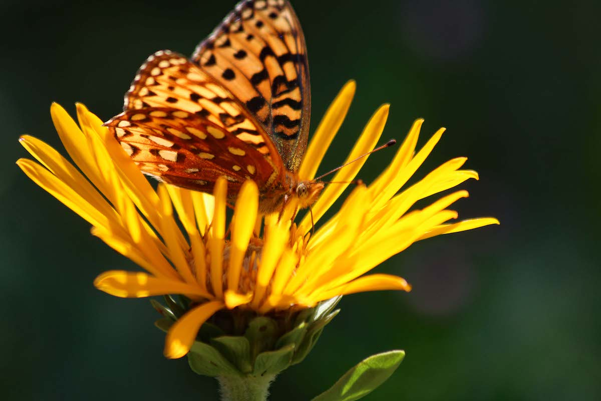 Checkerspot Butterfly on a Goldenweed flower at Rocky Mountain Biological Laboratory. [Photo] Jimmy Lee