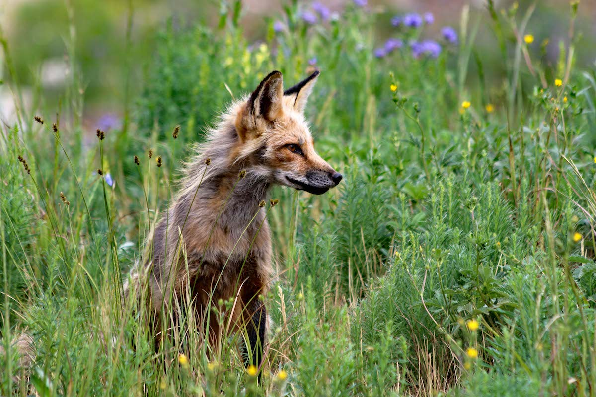 Red Fox in the meadow at Rocky Mountain Biological Laboratory. [Photo] Jimmy Lee