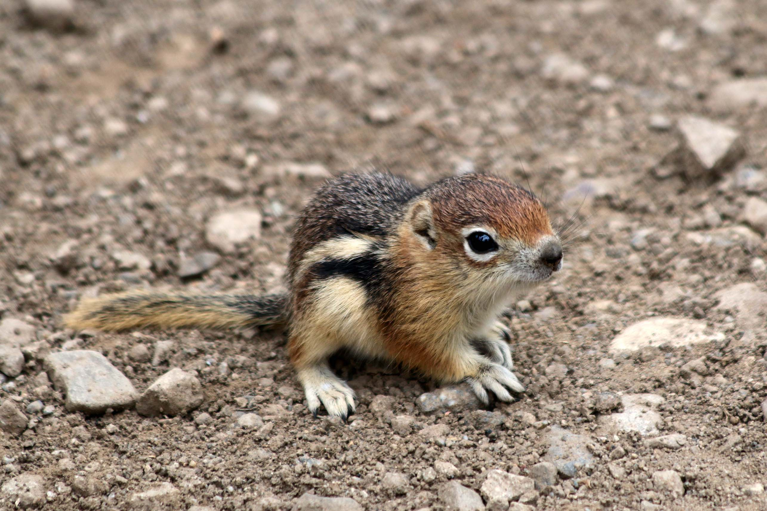 Baby ground squirrel at Rocky Mountain Biological Laboratory. [Photo] Jimmy Lee